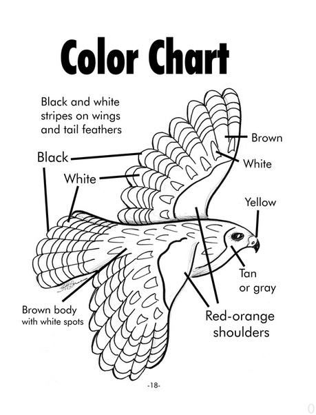 Red-shouldered hawk coloring chart providing species accurate coloring instructions.